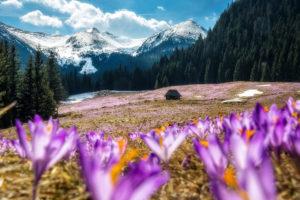 kalatowki, krokusy, fot Adam Brzoza, kwiat, szafran, Tatry